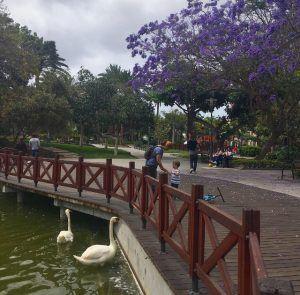 Las Palmasin puistot: Parque Doramas. Jakarandat kukkivat huhti-toukokuussa.