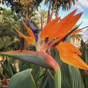 Parque Dormas, Las Palmas. Kolibrikukka.