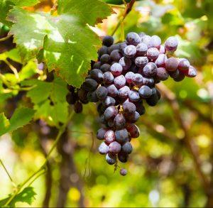 Viinirypäleitä Agaeten laaksossa
