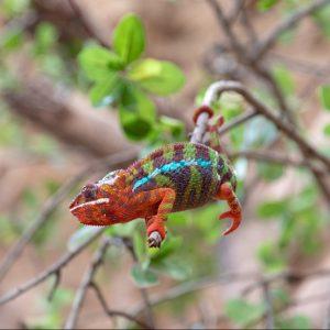 Pantterikameleontti on kotoisin Madagaskarilta. Poema del Mar, Las Palmas.