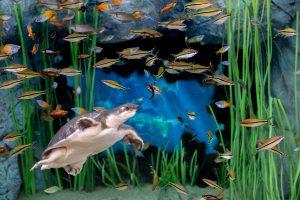 Flynkilpikonnat(Carettochelys insculpta) uimassa kauniissa akvaariossaan Poema del Marissa.
