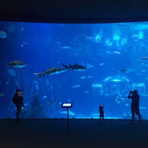 Iso akvaario, jossa ui haikaloja, rauskuja ja muita kaloja.